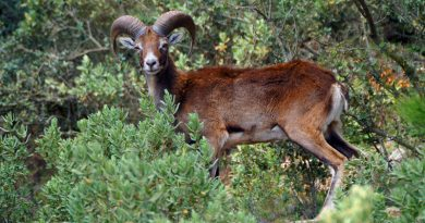 wild sheep & goats,Font Roja Alcoy